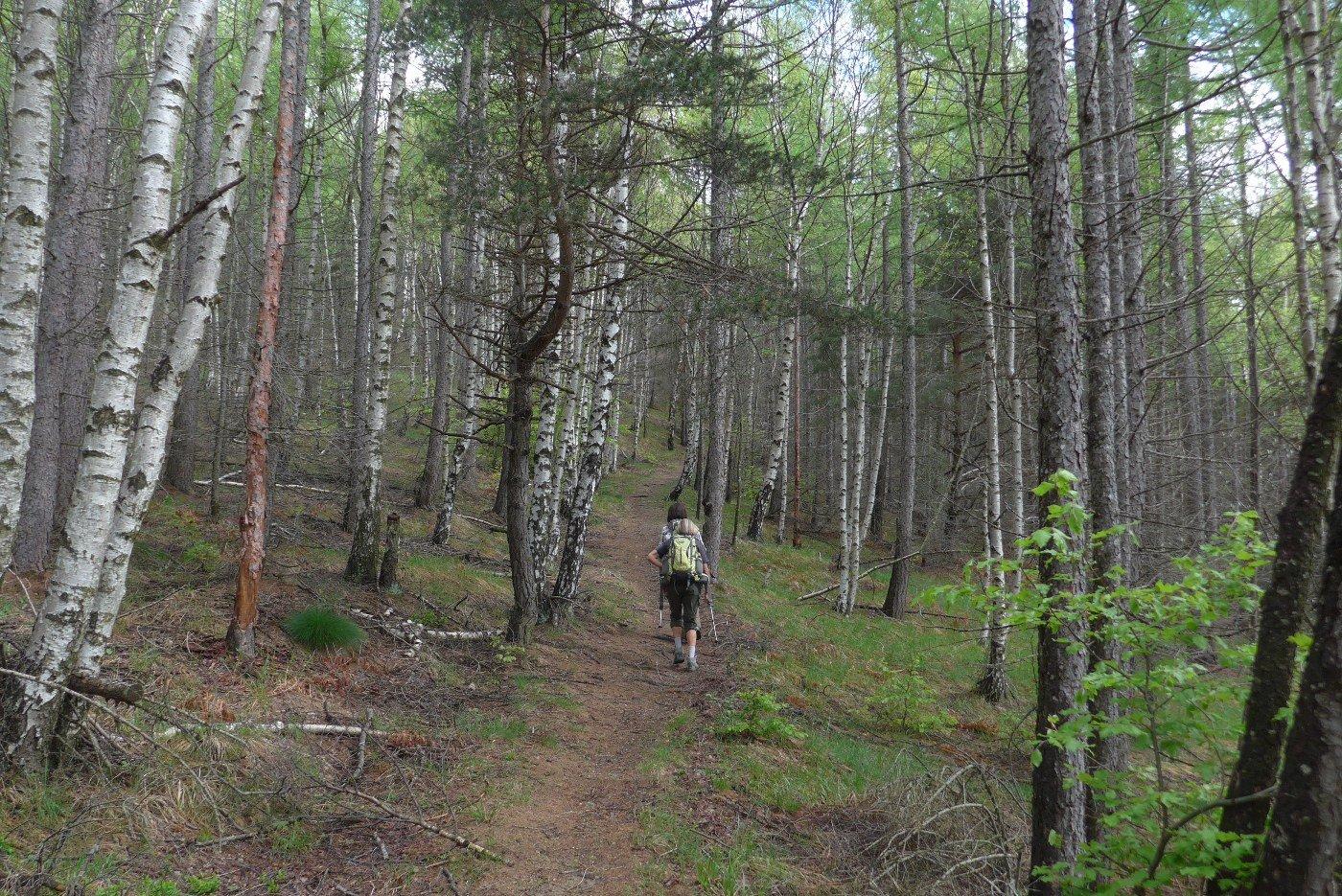 Salendo nello splendido bosco di betulle