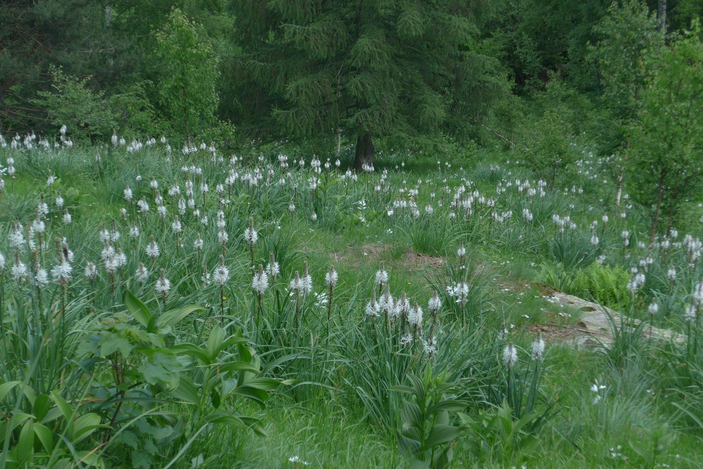 Bel prato di asfodeli in fiore