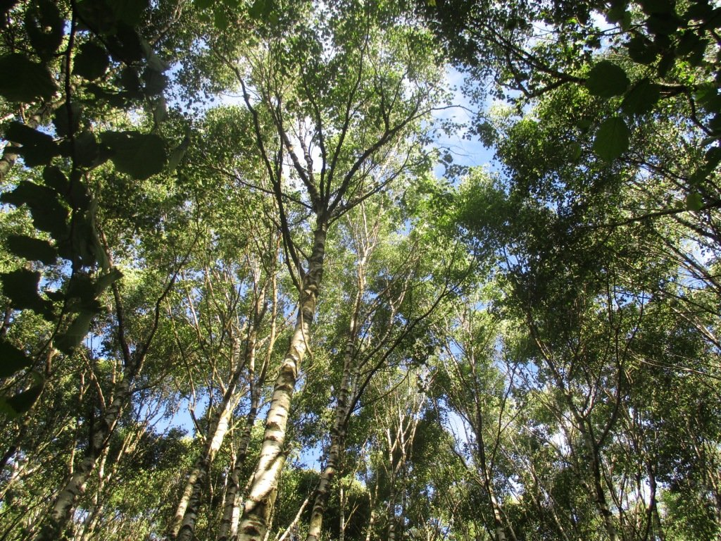 nel bel bosco di betulle