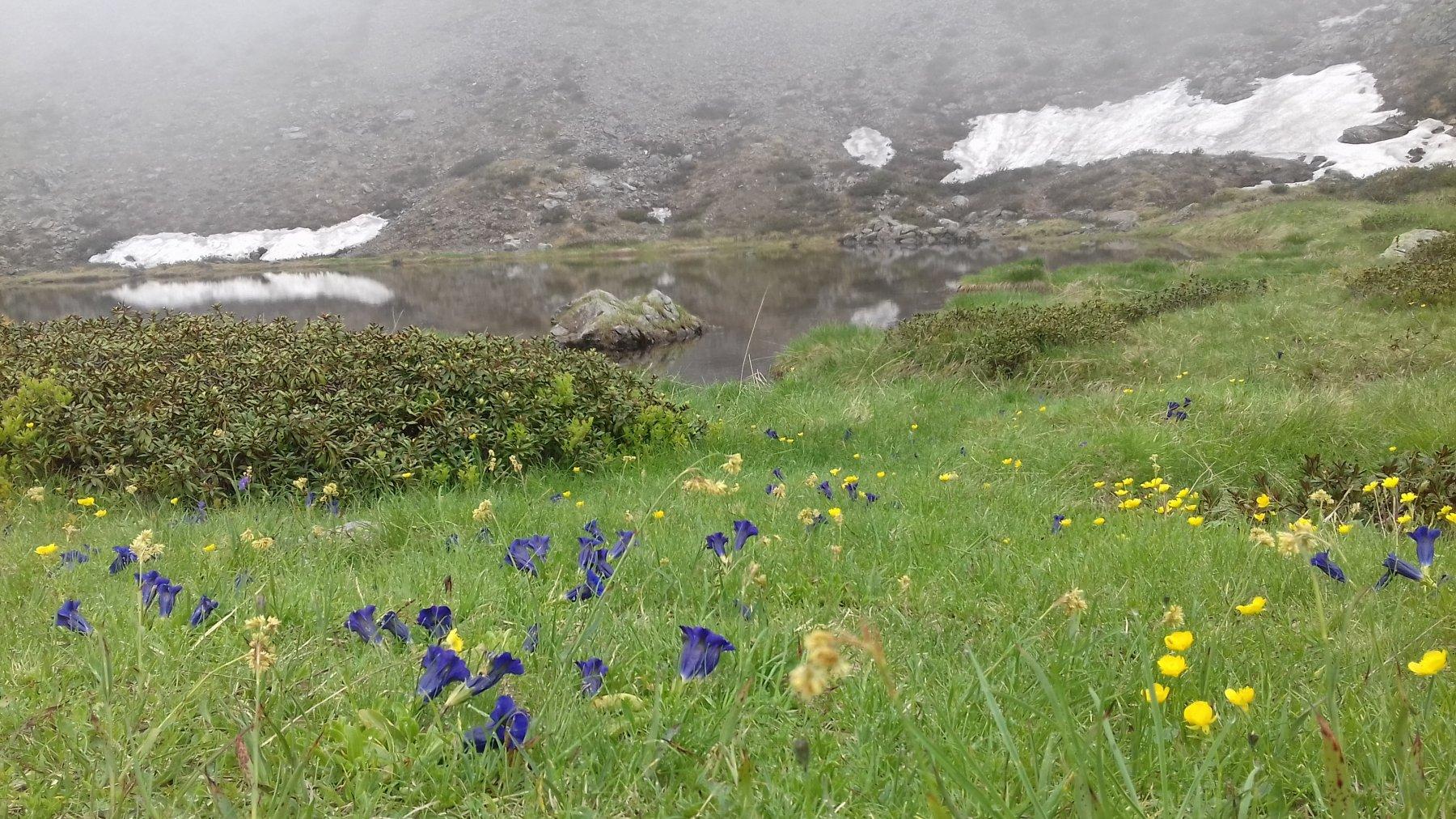 belle fioriture di genzianelle intorno al laghetto
