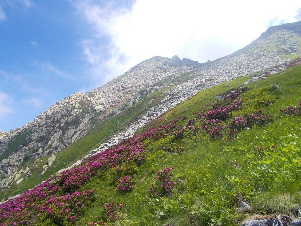 rododendri in fiore sul versante nord