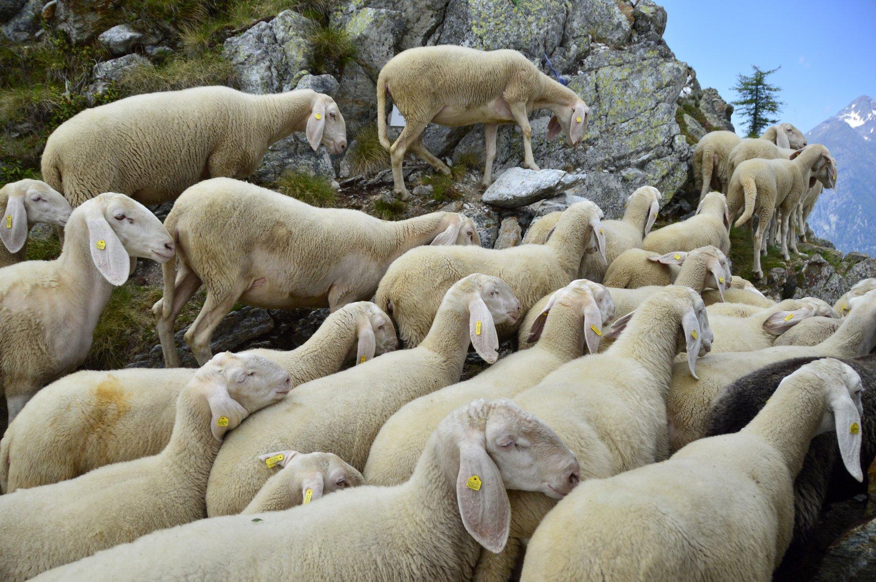Un mare di pecore al colle