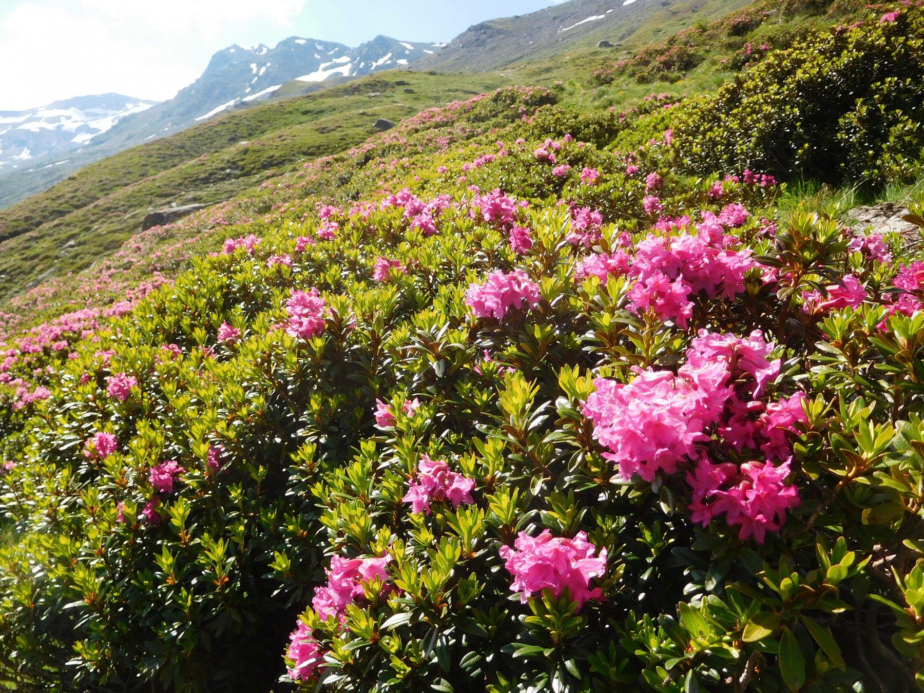 distesa di rododendri
