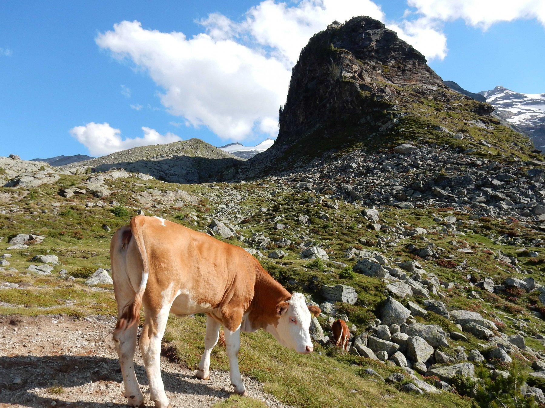Vacca con lo scoglio roccioso del Tristennockl.