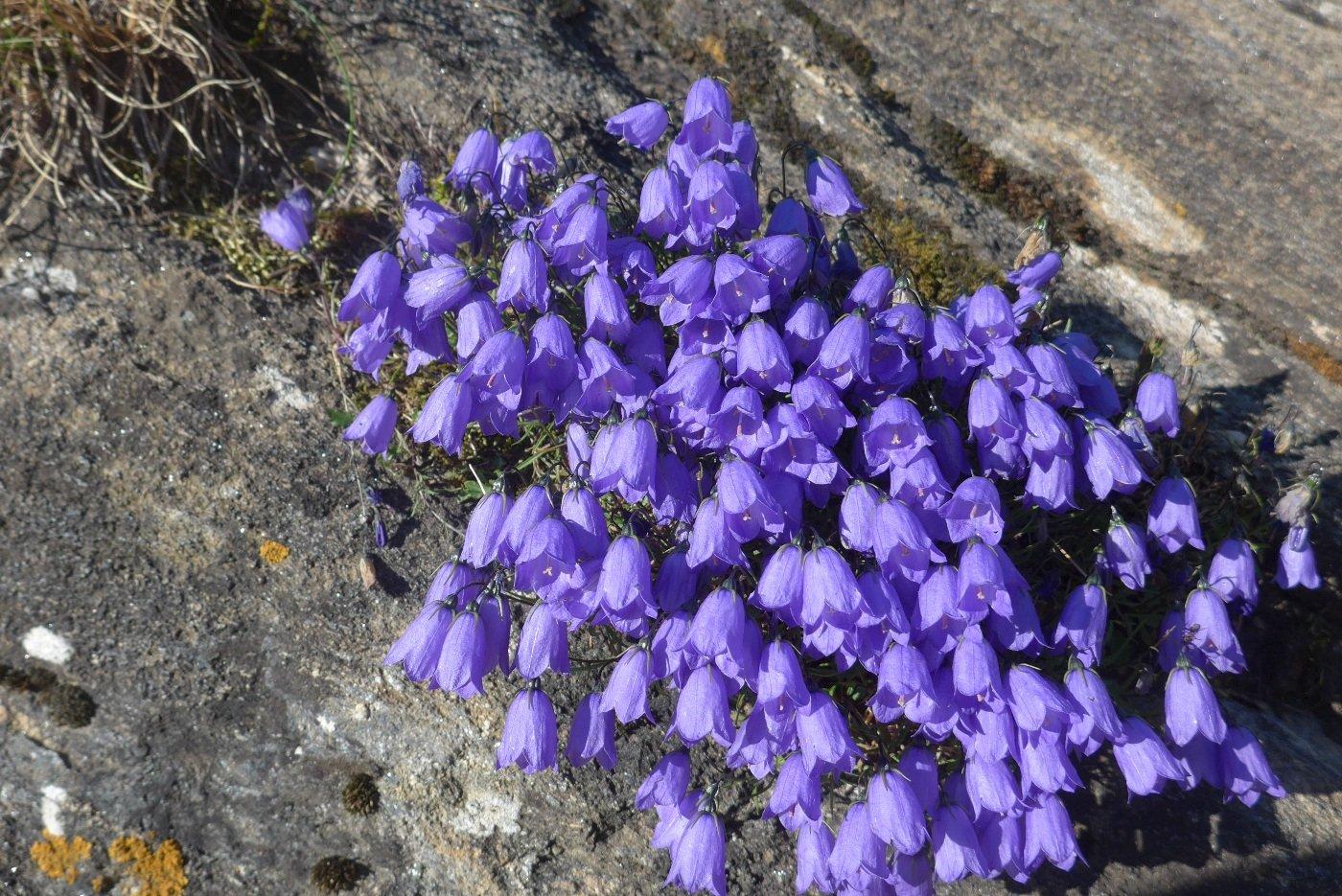 Splendida fioritura di campanule