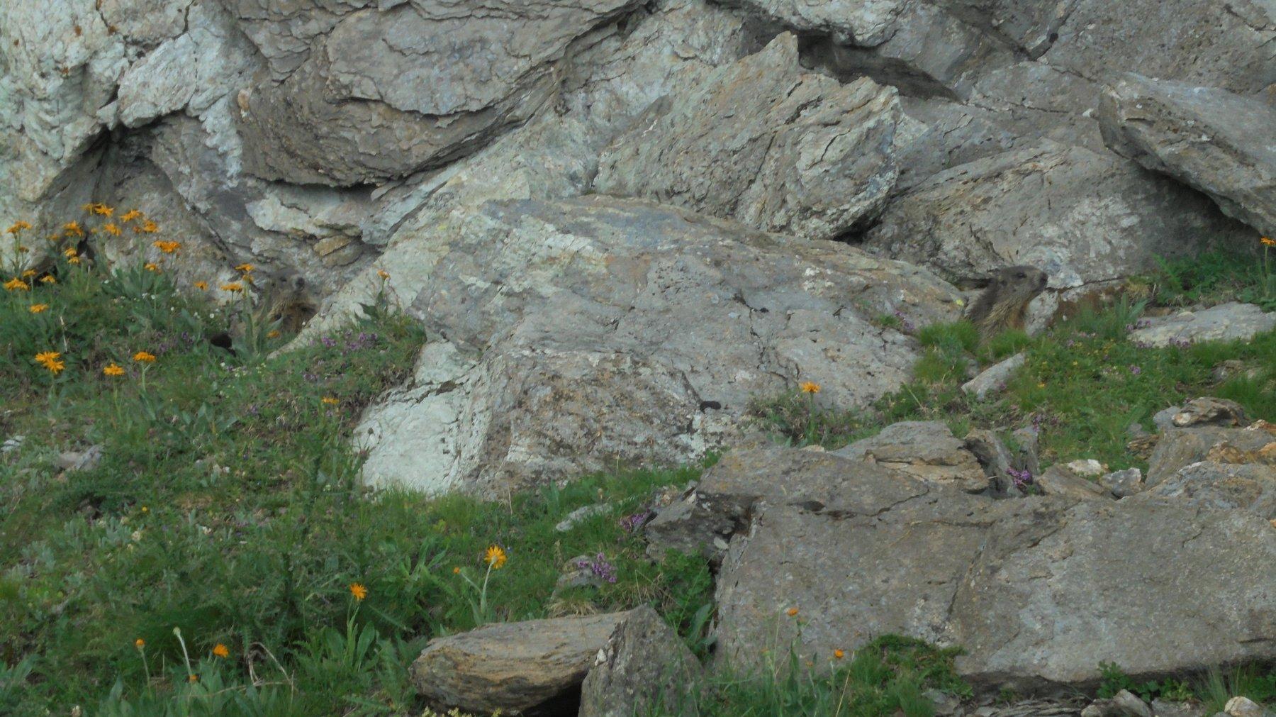 Piccole marmotte