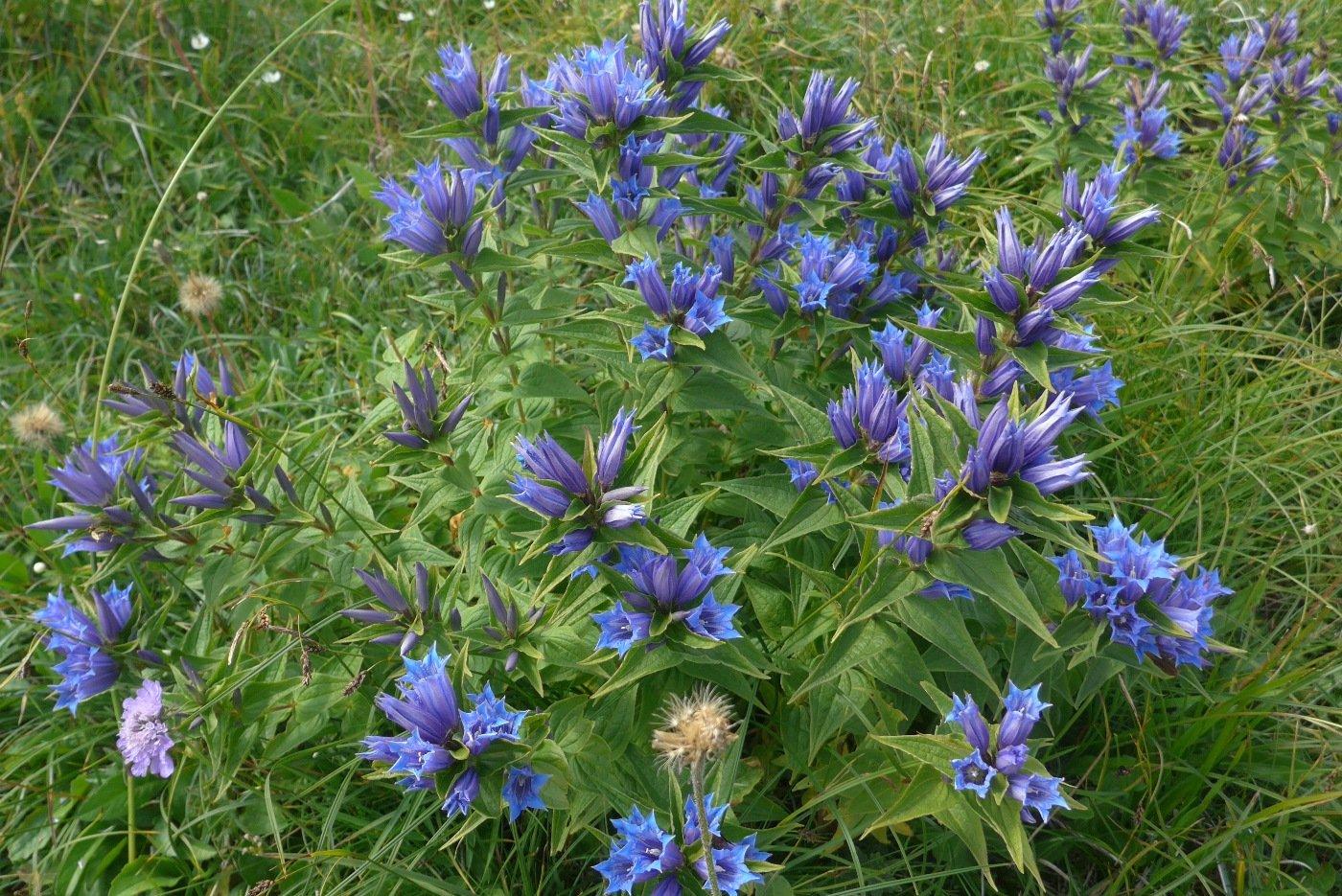 Fantastica fioritura di Genziana Asclepiadea
