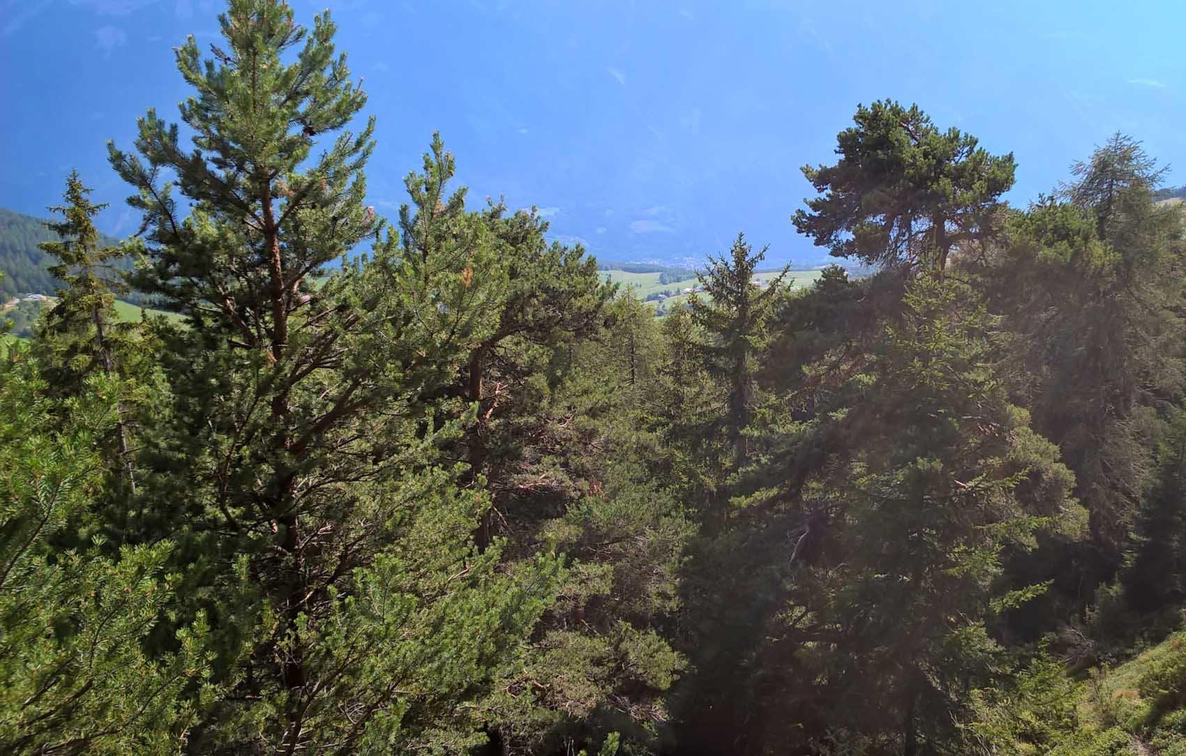 Pineta al Col de Joux