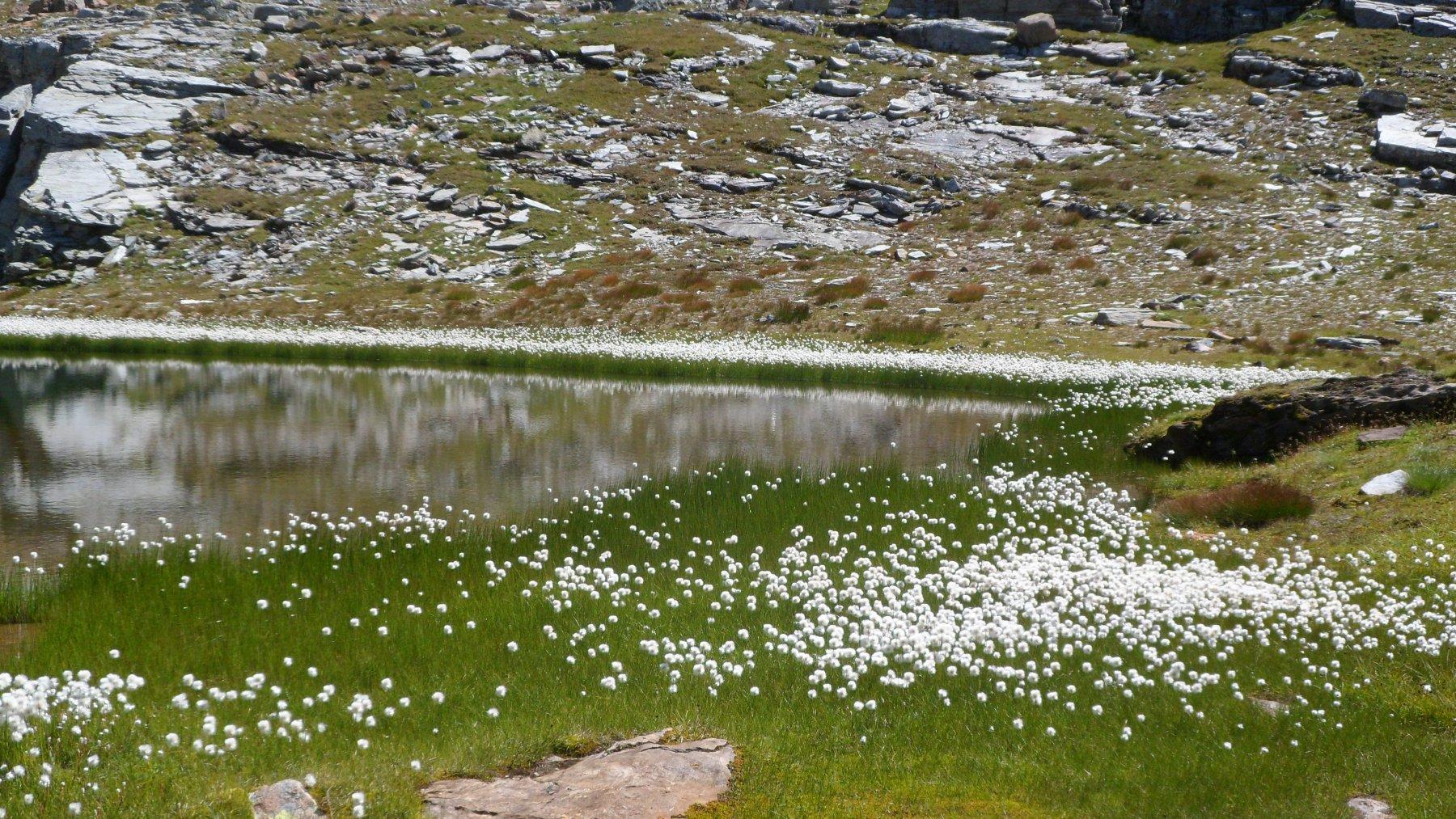 Fioritura nei pressi di uno dei laghetti a 2700 m