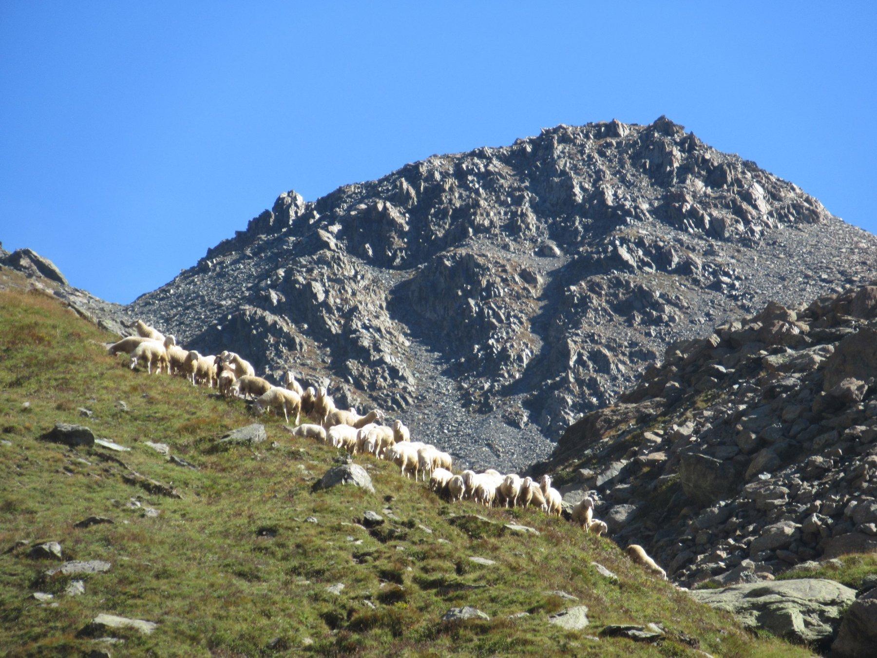 Un gregge di pecore ci viene incontro