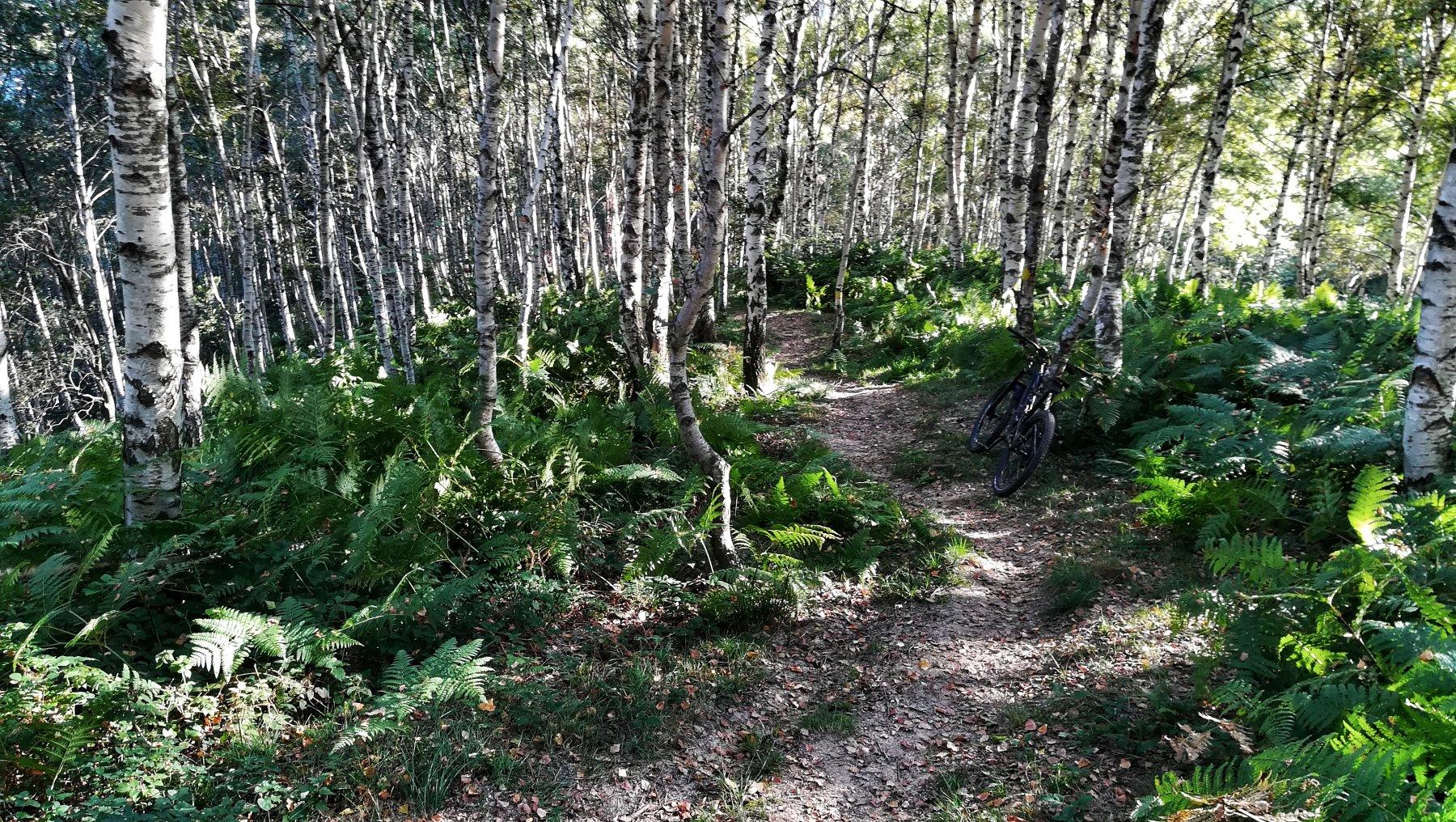 Il bel bosco di felci e betulle