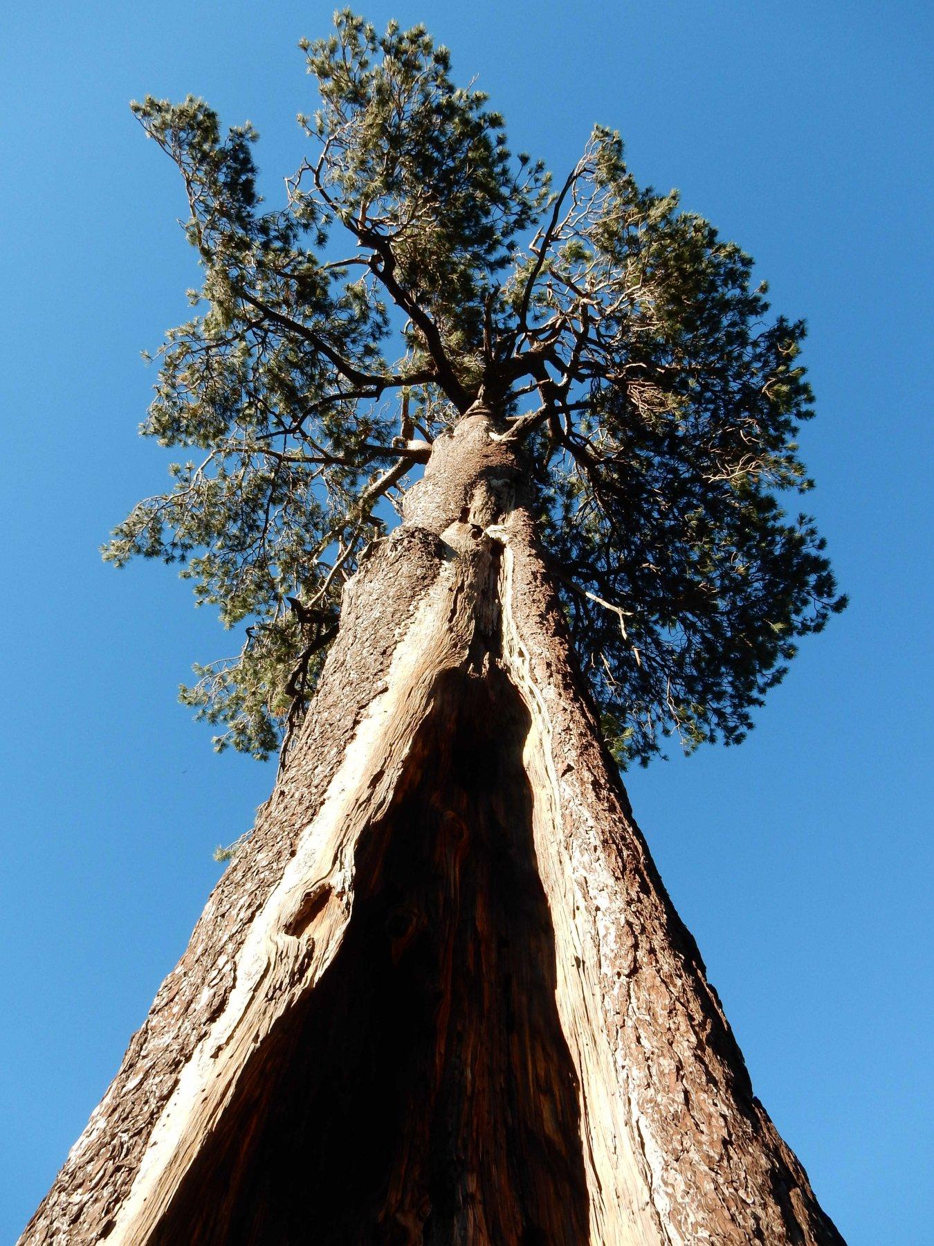 Sequoia nostrana.