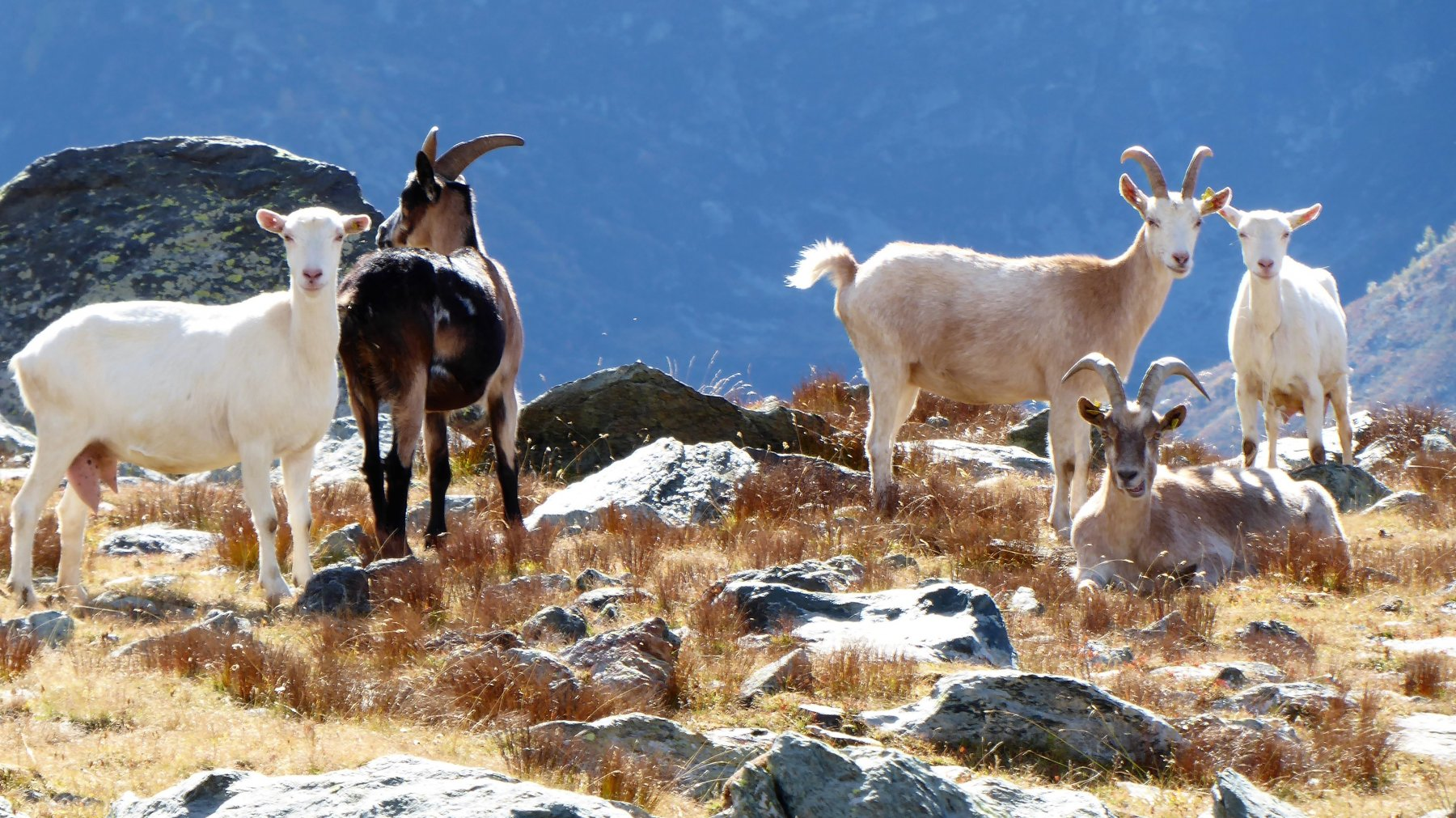 le capre