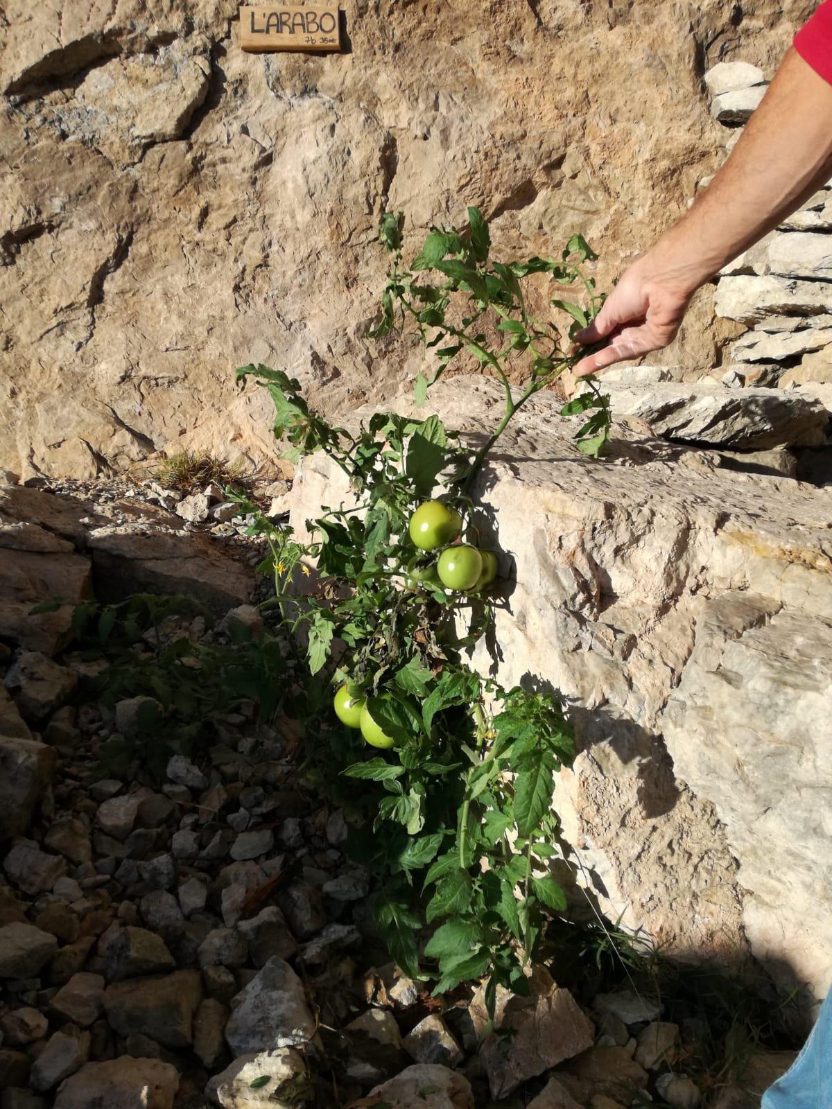 Pomodori per il Tromba