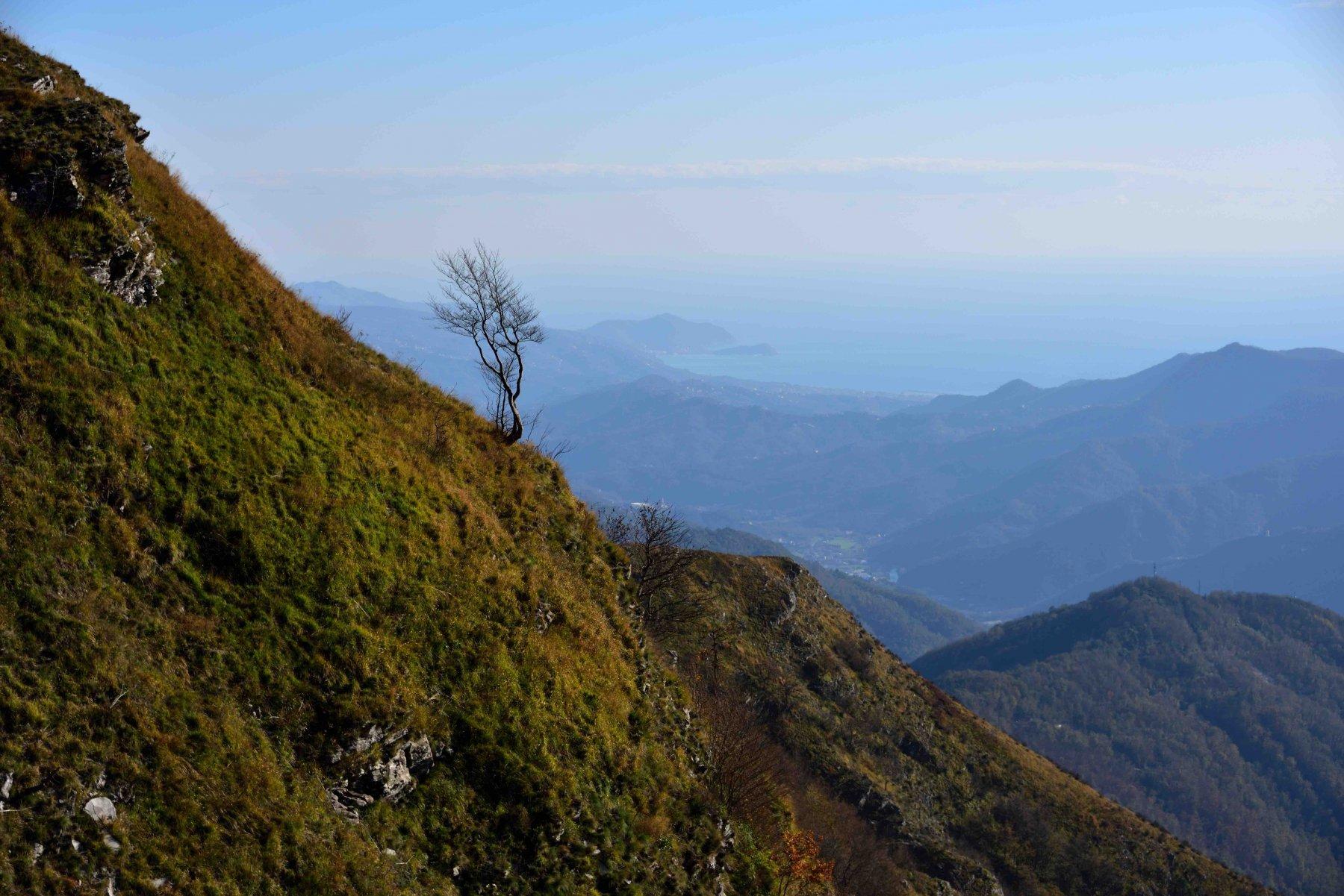 Albero solitario e in lontananza la penisola di Sestri Levante.