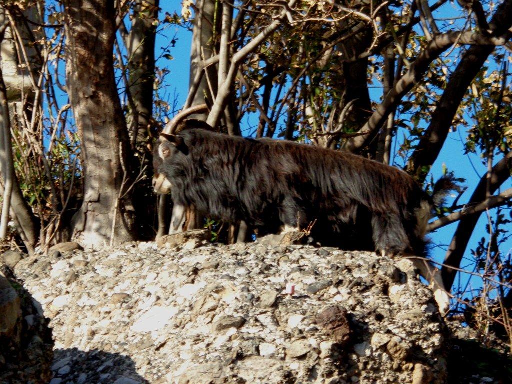 capra selvatica