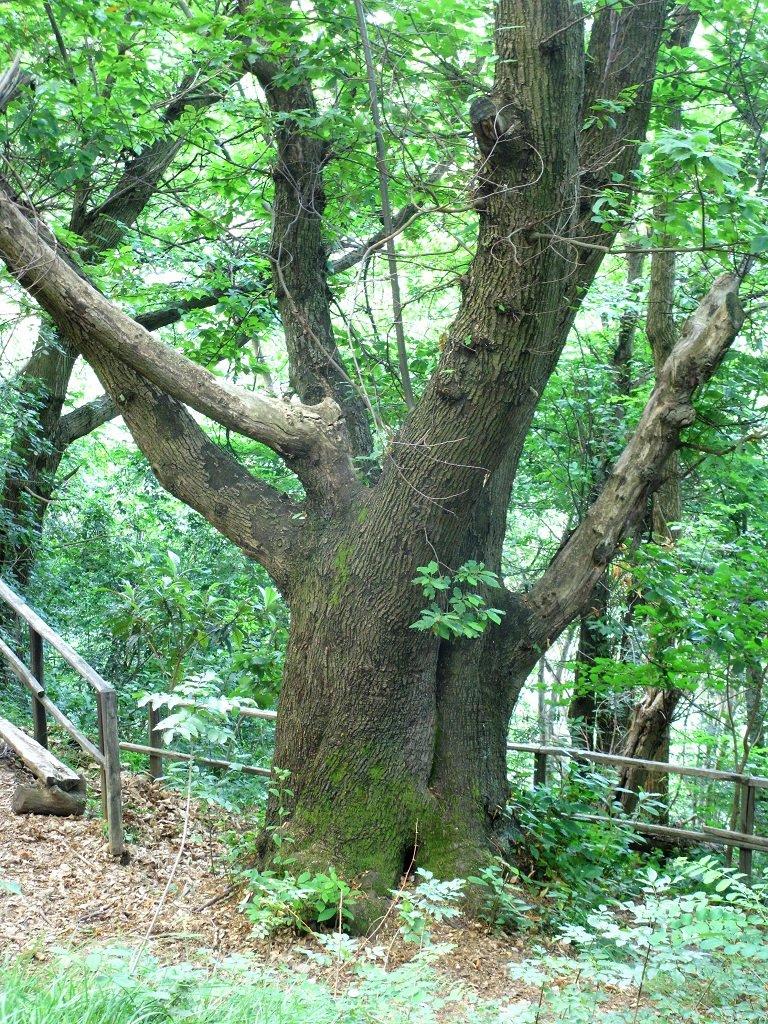 Castagno, circonferenza alla base 3,40metri età presunta 200 anni.