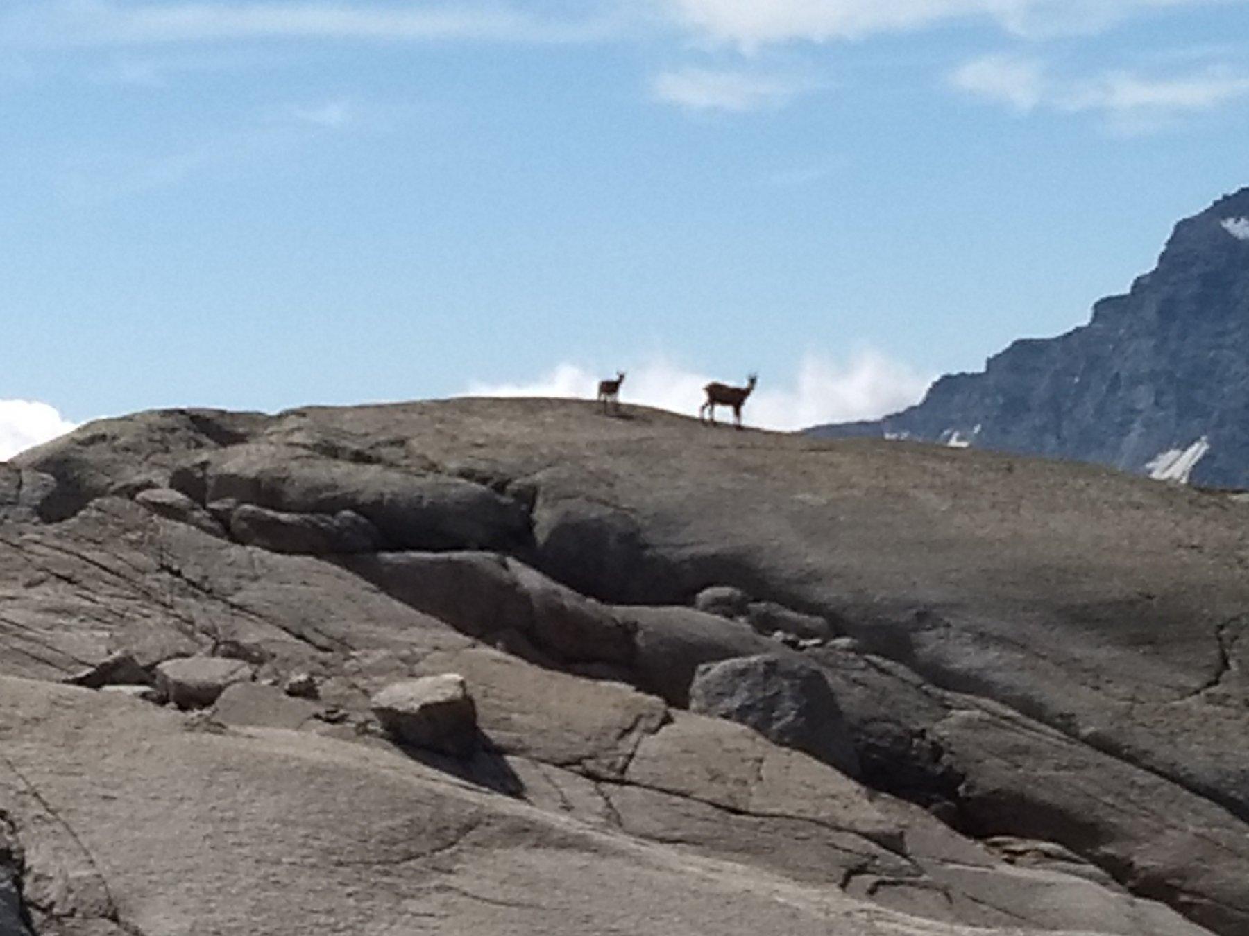 Camosci sulle rocce montonate