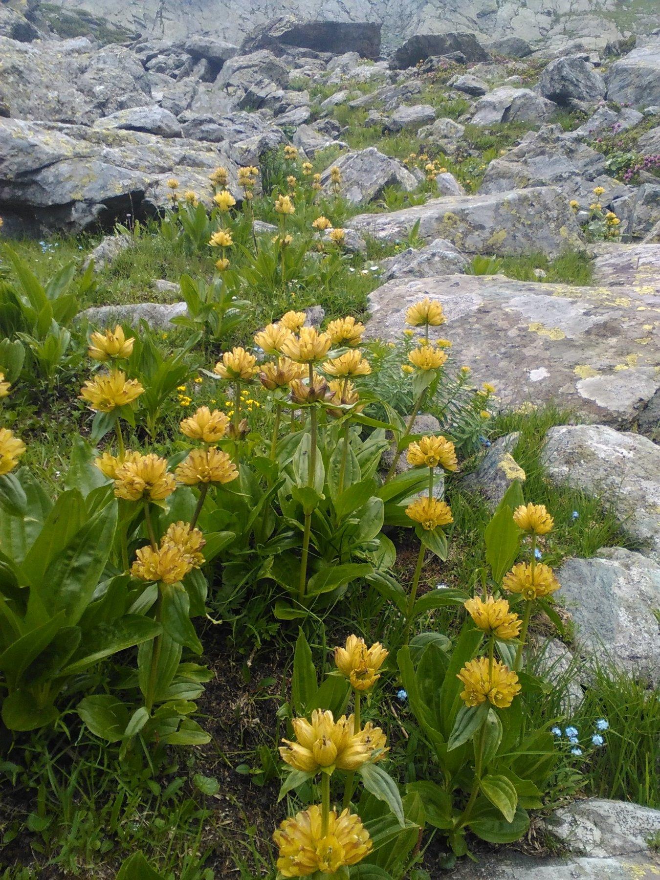 fioritura di genziana, nell'800 i Tirolesi (gli Alamàn) raccoglievano le radici e le distillavano a Balme