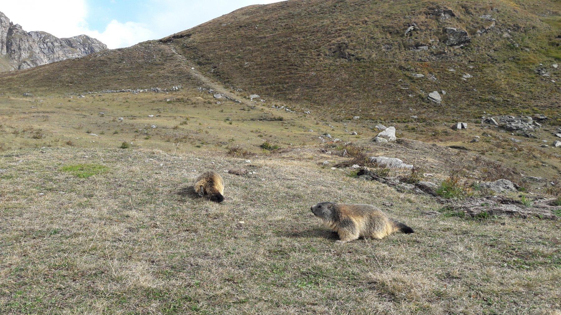 Marmotte che brucano senza badare a me