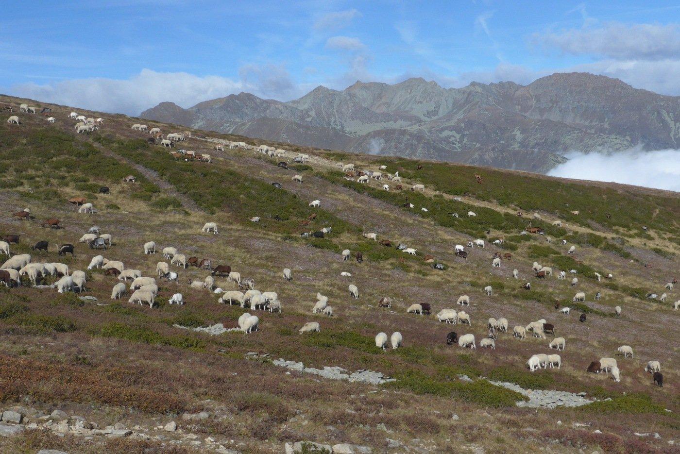 Un mare di pecore (500 contate)