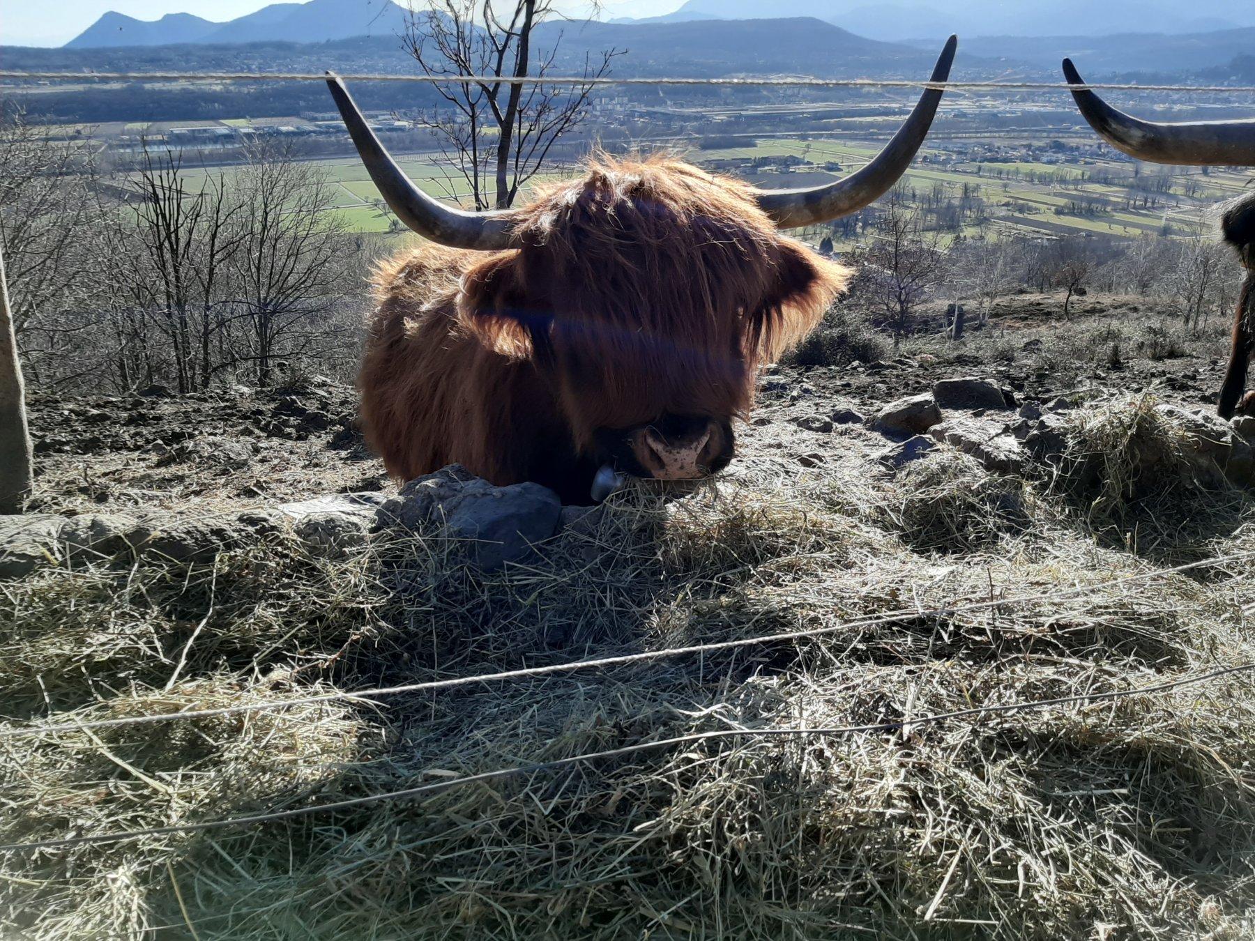 Allevamento di mucche di razza Highland nella prima parte del percorso