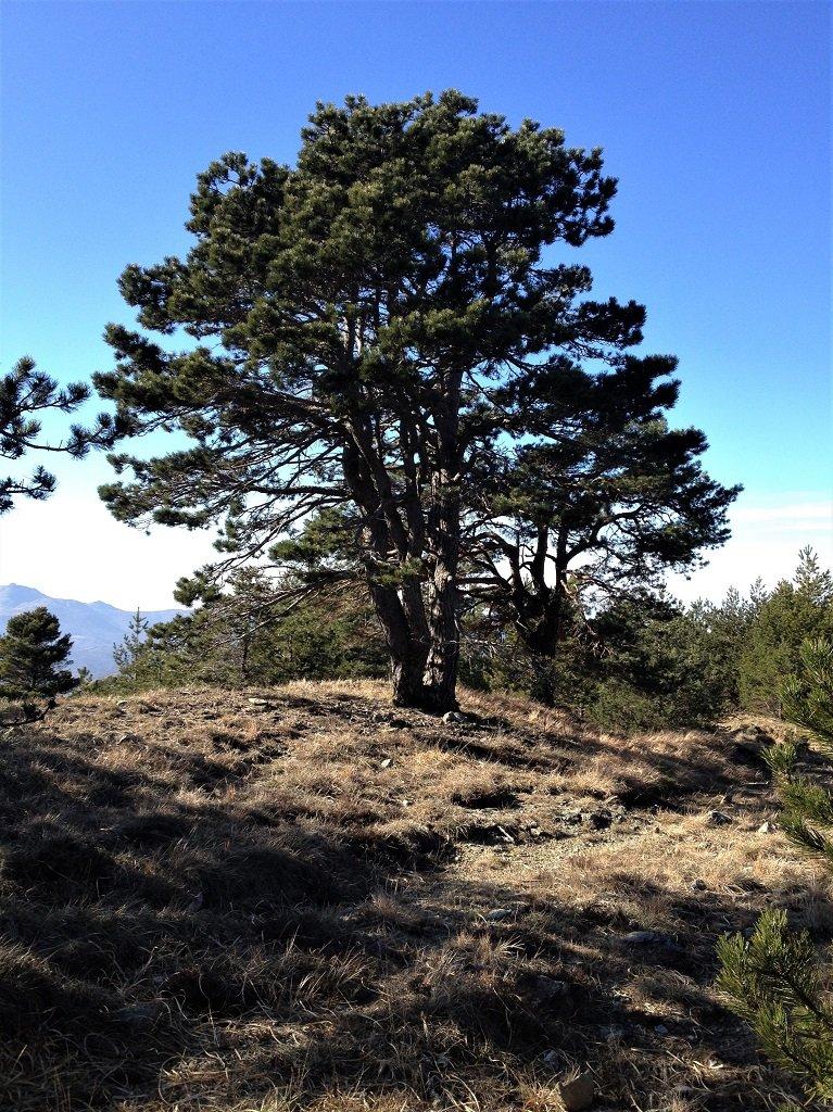 Un magnifico esemplare di pino