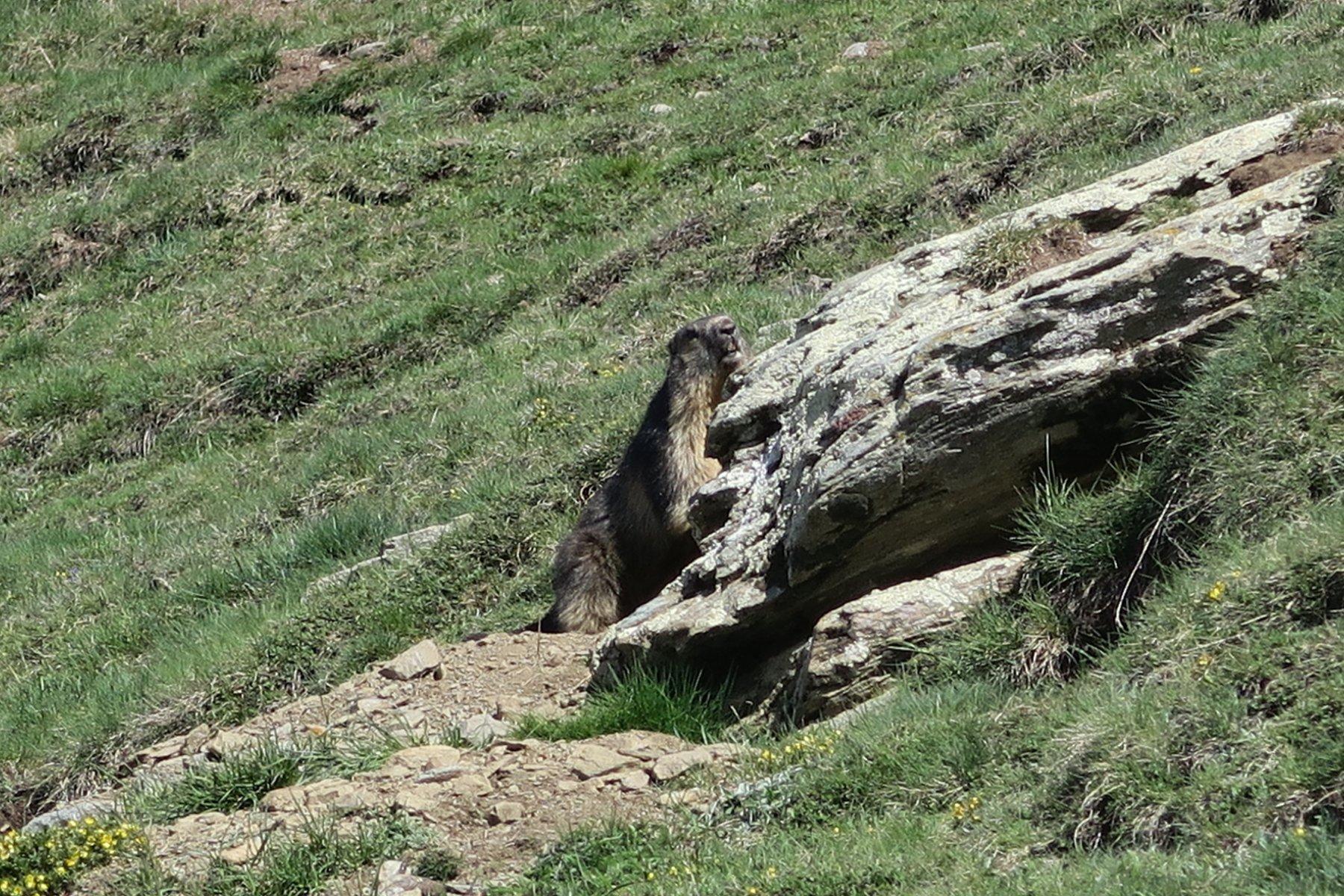 ormai si sono svegliate anche le marmotte
