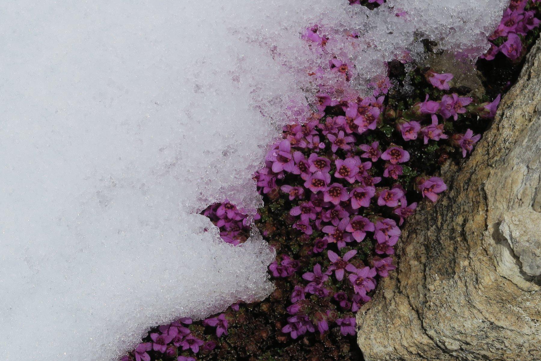 fiorellini che sfidano la neve fresca