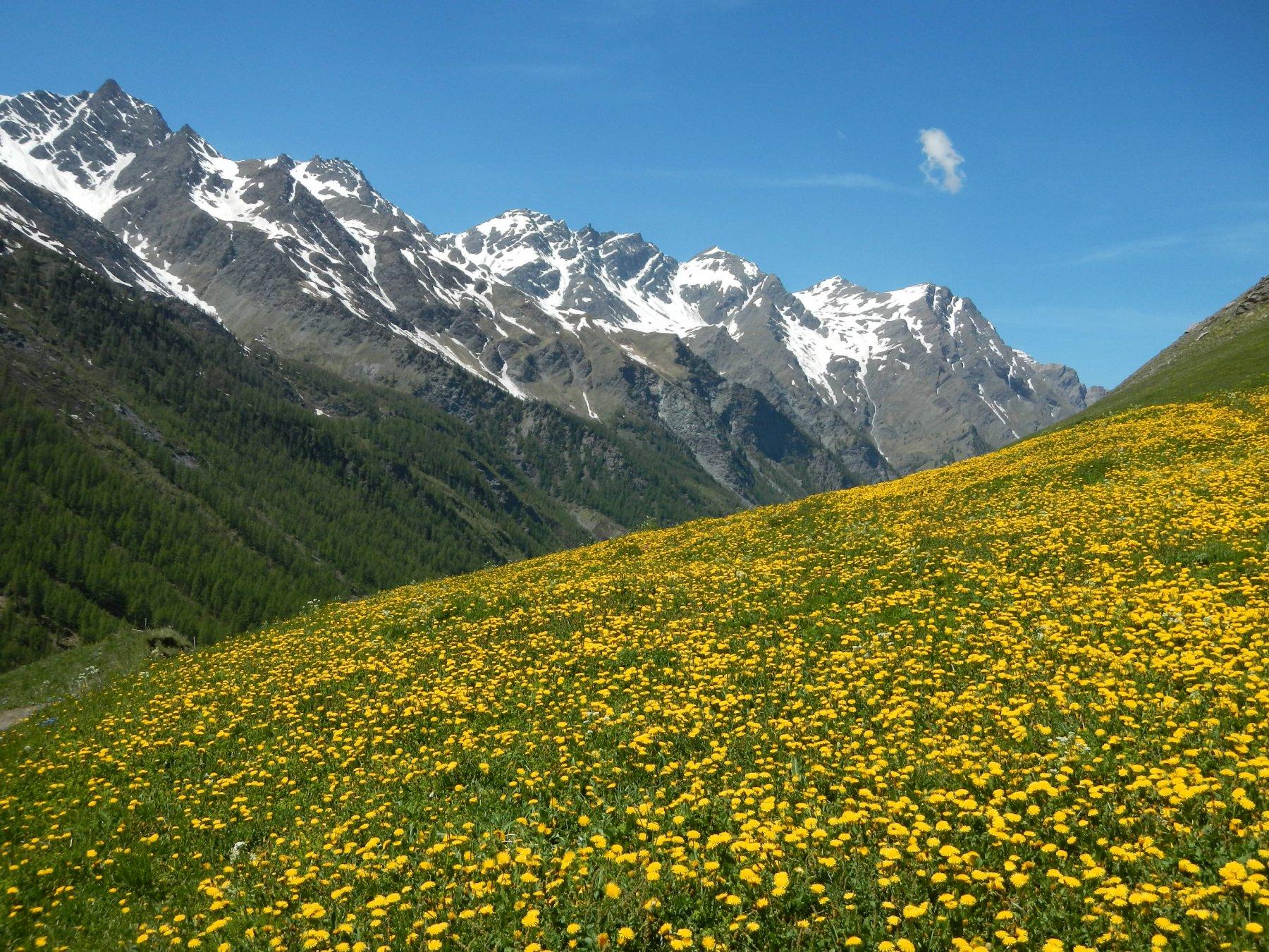 prime fioriture in zona Alpe Plane