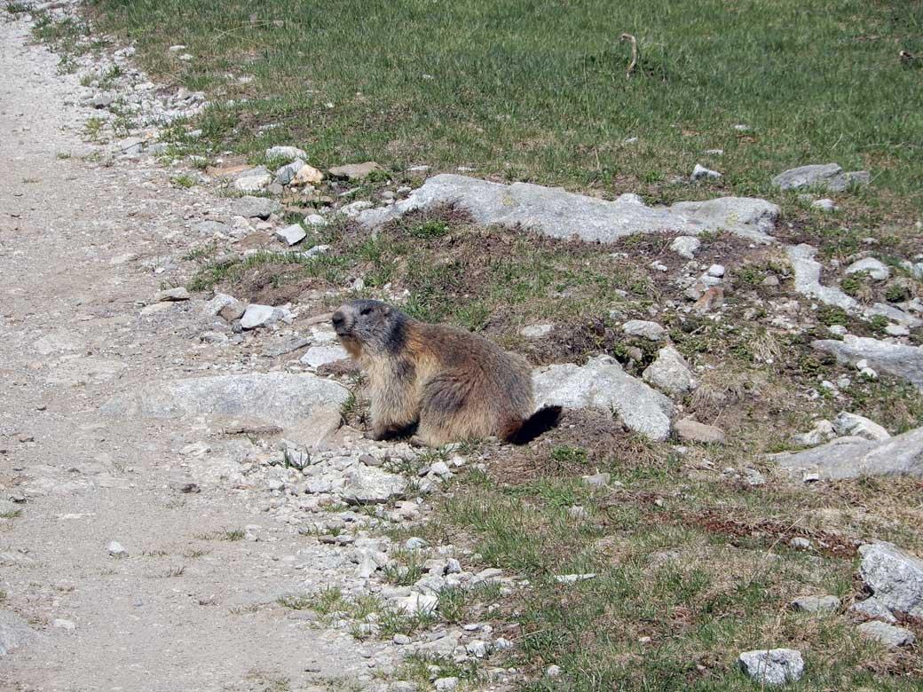 una delle tante marmotte