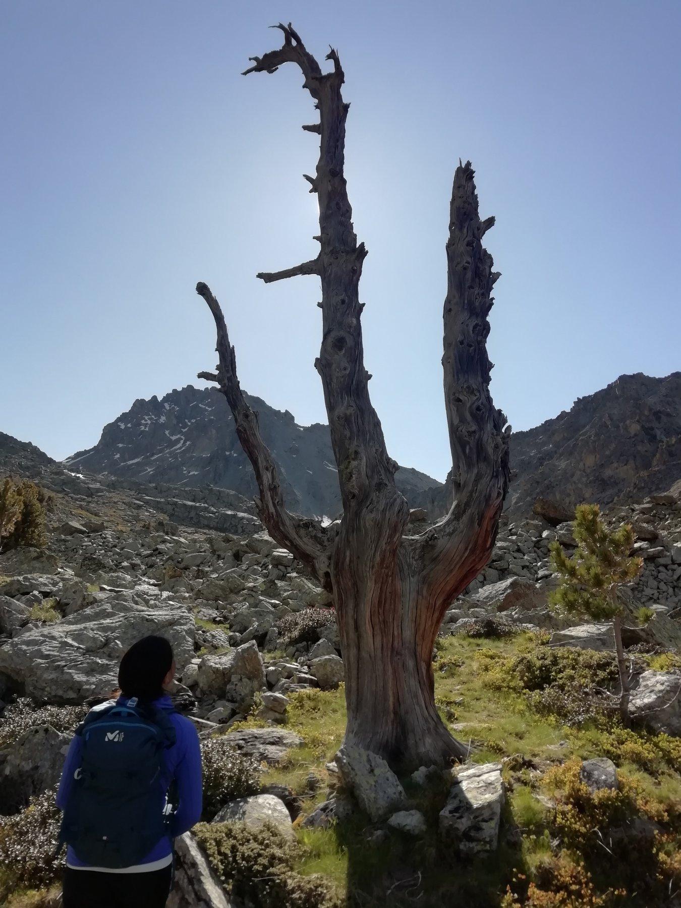 Caratteristico albero a tridente dove si lascia il sentiero per raggingere il passo del Ranco