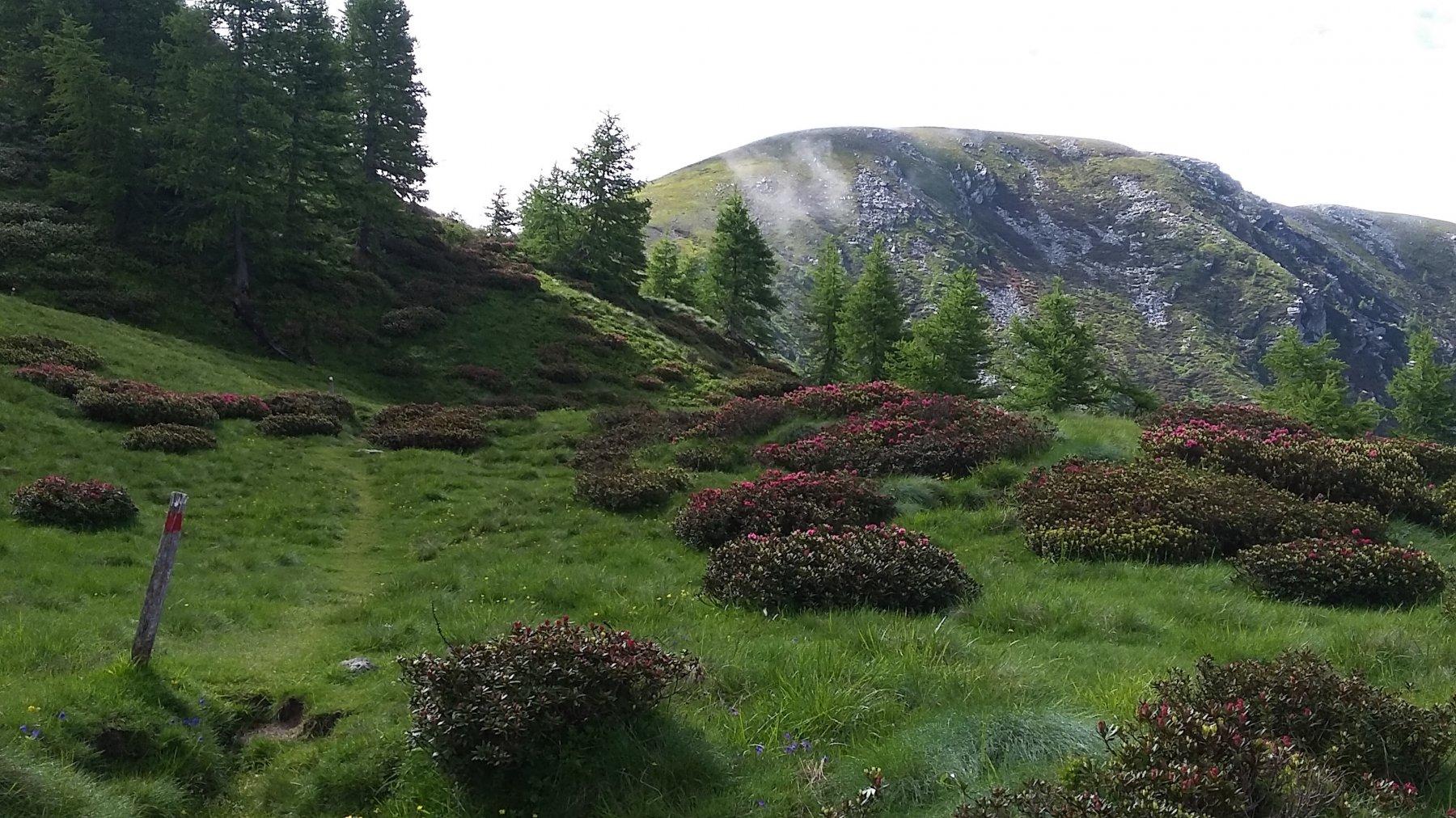 Rododendri sotto il colle con Coubasiri di fronte