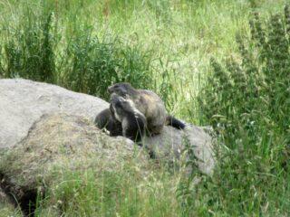 Un'affettuosa marmotta