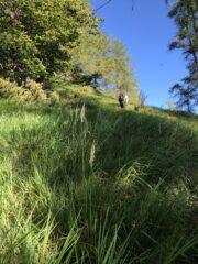 erba alta sopra l'alpe Cortevecchia in direzione della prima piodata