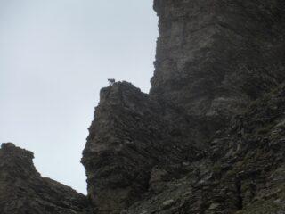 Camosci su rocce impossibili...