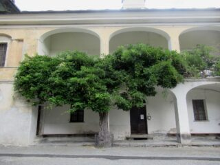 Antico Glicine di oltre 200 anni a Montjovet