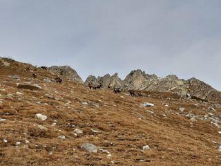 Branco di camosci con le rocche Bisté sullo sfondo