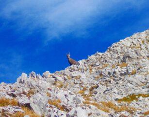 uno stambecco sotto Rocca d'Orel