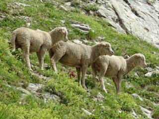 Pecore curiose.