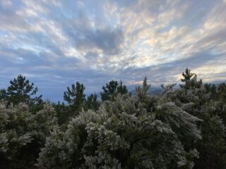 Erica arborea fiorita