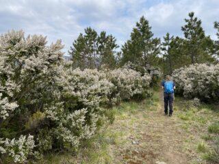 Erica arborea in fiore