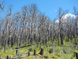 quel che rimane della pineta sopra Mompantero dopo l'incendio dell'ottobre 2017