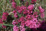 Bellissima e profumatissima fioritura di Daphne Cneorum