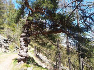 Un albero tanto strano quanto bello.