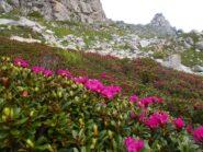fioritura di rododendri sulle pendici del Seirasso