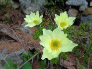 Belle fioriture di anemoni e orchidee selvatiche viola e gialle