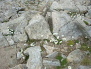fiori di vetta