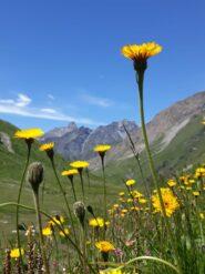 spettacolari fioriture ai piani di Soustra. Sullo sfondo il bel profilo del Roc della Niera