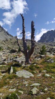 L'albero totem nel selvaggio vallone del Duc